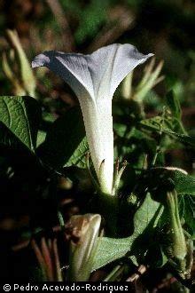 Morning Pharbitis Nil T1310 plants profile for ipomoea nil whiteedge morning