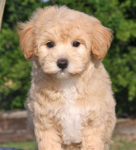 multipoo puppies apricot maltipoo puppy of maltipoos we already matched up to some amazing