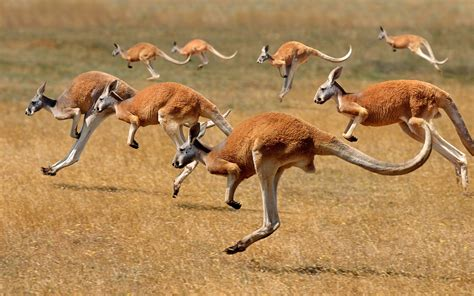 Kangaroos Running Original 02 hintergrundbilder tiere tierwelt k 228 ngurus impala