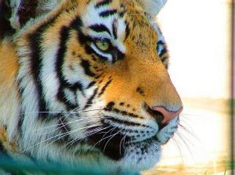 imagenes ojos de tigre ojo del tigre descargar fotos gratis