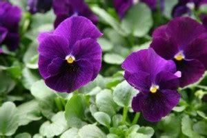 mammola fiore erbe magiche la viola di katia spazio fatato