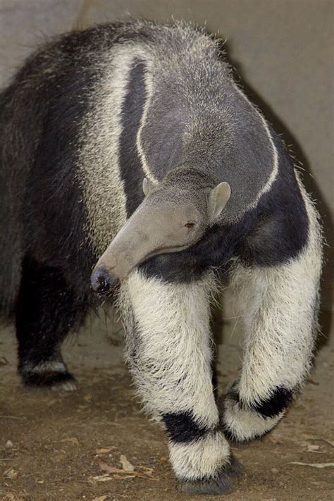 adult giant ant eater walking   camera giant anteater anteater american animals