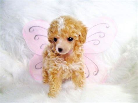 poodle puppies for adoption white teacup poodles puppies quotes