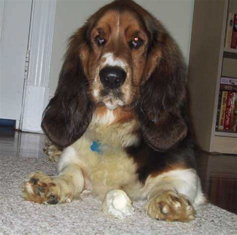 How Much Do Basset Hounds Shed by Hair Basset