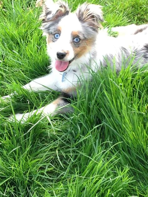 merle australian shepherd puppies best 25 border collie blue merle ideas on blue merle aussie puppies and