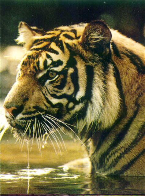 Harimaun Sumatera harimau sumatera semakin langka setetes embun
