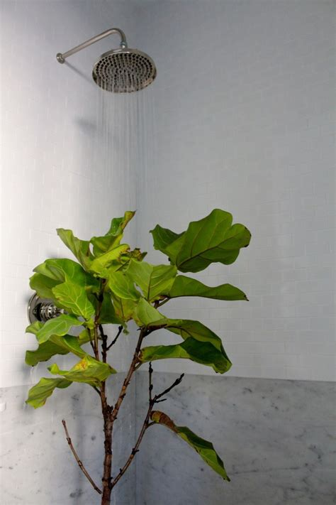 how to save a dying plant 7 secrets how to save a dying fiddle leaf fig tree