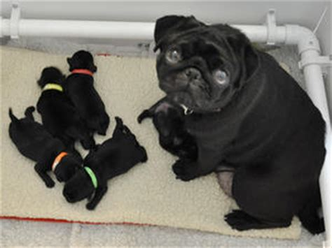 new born pug puppies pedigree kc registered pug puppies in tetbury gloucestershire born 01 11 11