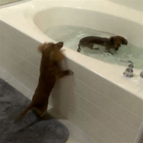 two dogs in a bathtub 17 best images about splish splash on pinterest