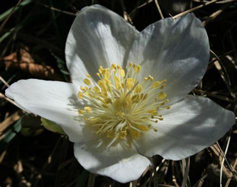 rosa d inverno fiore elleboro ovvero la rosa di natale pollicegreen