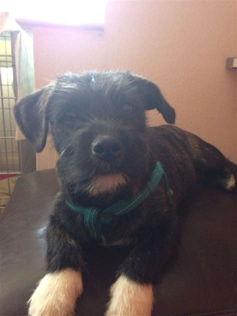 shih tzu x staffy ike 18 week staffordshire bull terrier cross shih tzu for adoption