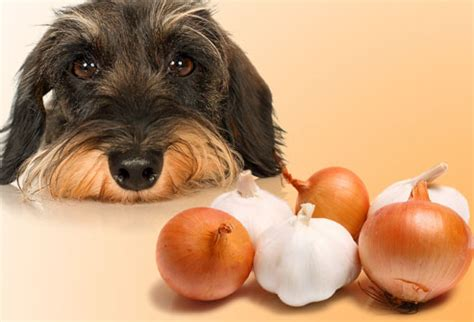 onions bad for dogs toxic and dangerous foods your should never eat