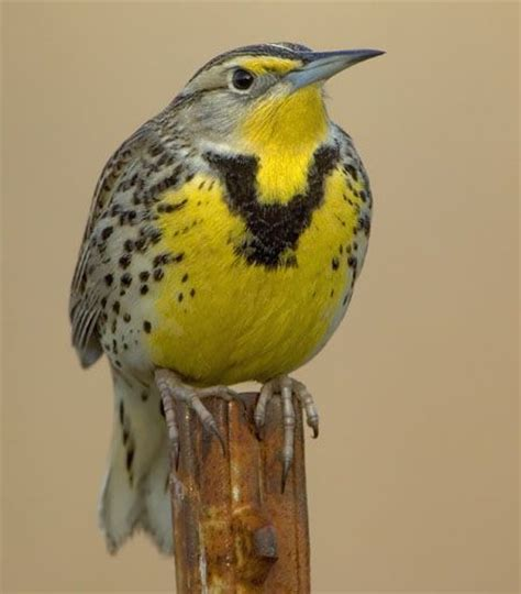 western meadowlark state bird of oregon i