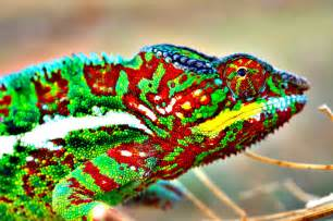 do chameleons change colors how do chameleons change color