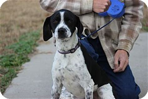 dogs for adoption in ri coventry ri springer spaniel mix meet a for adoption