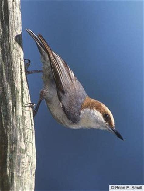 25 b 228 sta cornell birds id 233 erna p 229 pinterest f 229 gelholk