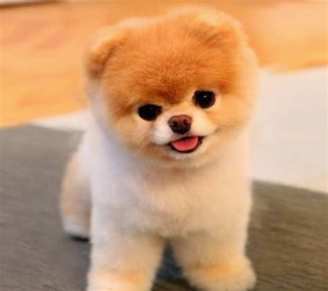 puppies for sale in baltimore puppies for sale pomsky puppies for sale are pups that one could place in the