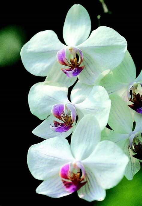come mantenere le orchidee in vaso orchidee come coltivare la phalaenopsis