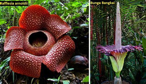 perbedaan bunga bangkai dan bunga rafflesia yang banyak orang tidak ketahui abheracy