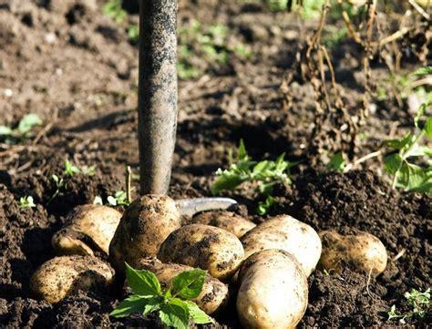 kartoffeln im garten gem 252 se und kartoffeln frostfrei und frisch im garten lagern