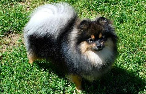 pomeranian caracteristicas pomerania el perro miniatura m 225 s tierno de todos
