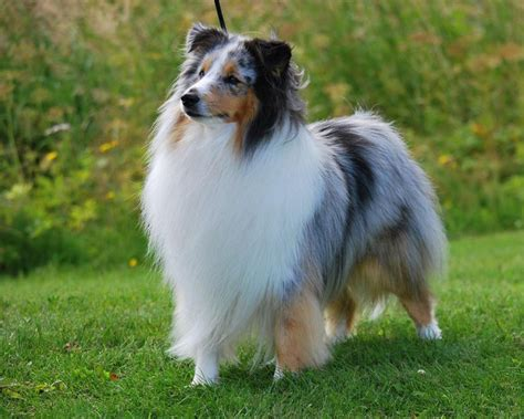 sheltie breed shetland sheepdog history personality appearance health and pictures