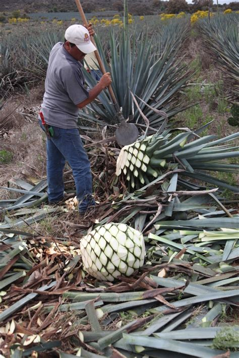 tequila how is tequila made and what from