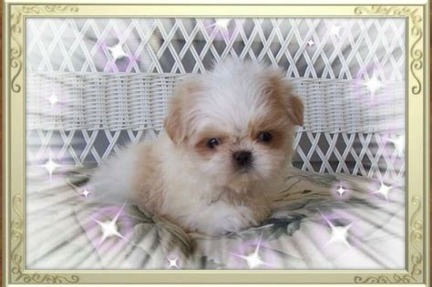 teacup shih tzu puppies for sale in illinois 1000 images about shih tzu puppies for sale in illinois on coats