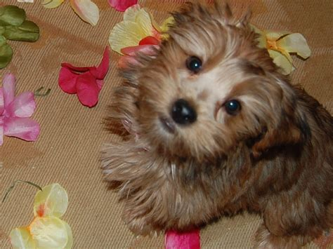 cairn yorkie mix pet picture gallery necessary puppy breed dogs page 102 city