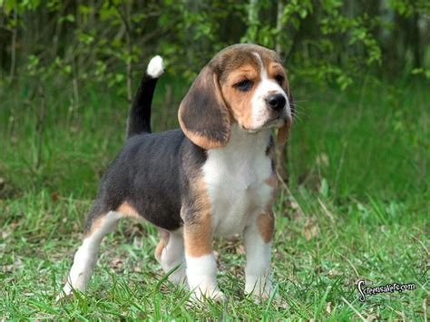 hound puppies hound dogs images beagles hd wallpaper and background photos 15342230