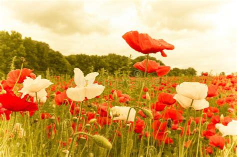 imagenes de rosas iluminadas planta 231 227 o das flores vermelhas e brancas iluminadas imagem