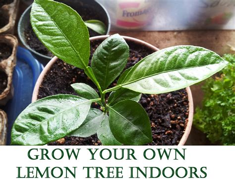 Grow Your Own Tree by Grow Your Own Lemon Tree Out Of Store Bought Lemons In 11