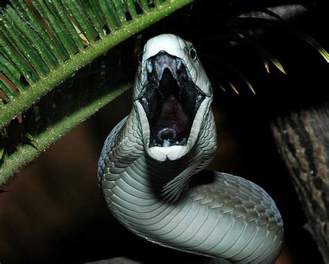 black mamba snake bites life cycle appearance and more the dark side and the bright one of black mamba venom