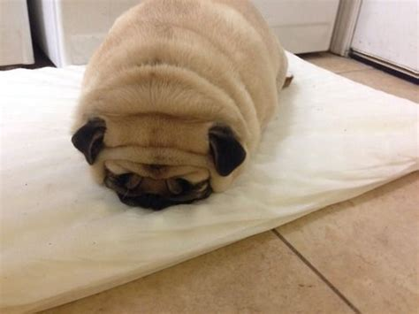 pug loaf pillow pug loaf breeds picture