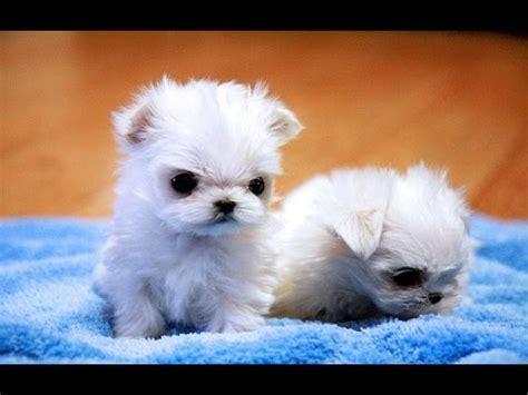 buy maltese puppy cutest maltese puppies compilation