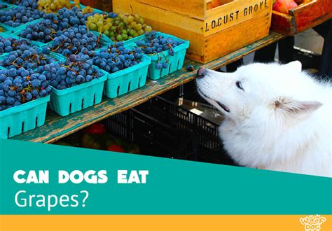 dogs eat grapes can dogs eat grapes woof