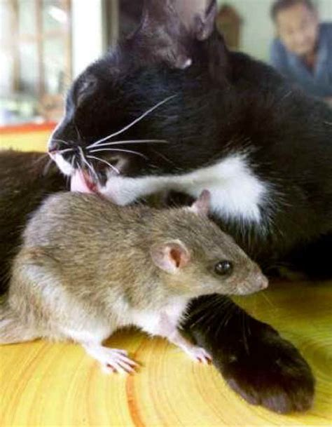 cat rat cat and rat buddies works of the creator an all creatures photo journal