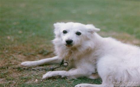 spitz dogs spitz dogs wallpaper 13985294 fanpop