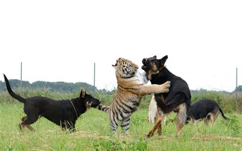 puppy friends remarkable friendship between tigers and dogs caters news agency