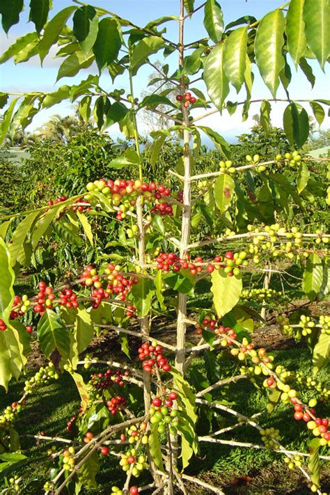 Coffee Tree coffee tree pictures facts on coffee trees