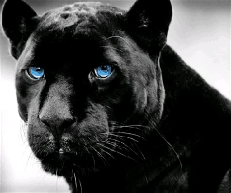 what color is a panther panther gif find on giphy