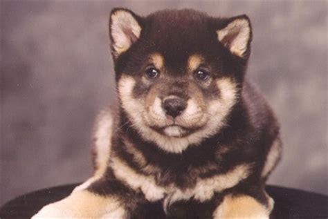 shiba inu puppies for sale shiba inu puppies for sale in westchester new york