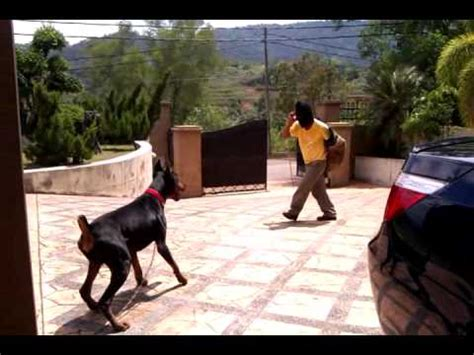 how to doberman to be a guard doberman guard spots an intruder outside our home funnydog tv