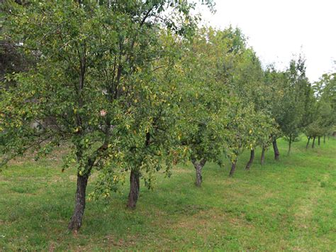 fruit trees buy how to buy fruit trees 13 steps with pictures wikihow