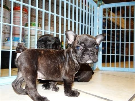 frenchton puppy frenchton puppies dogs for sale in jacksonville