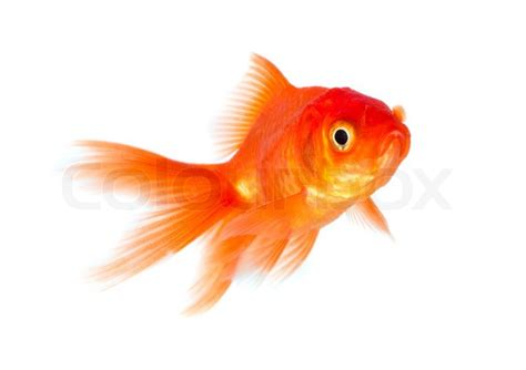 Free Small Home Plans goldfish stock photo colourbox