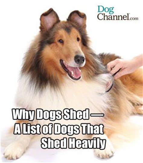 Do Border Collie Shed by 1000 Ideias Sobre Border Collie Shedding No