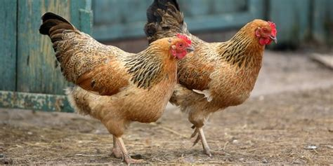 Bibit Ayam Per Ekor jelang natal harga daging ayam di kalimantan rp 1 juta