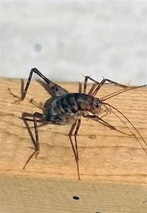 crickets in house spider crickets the bugs you don t want in your house this fall life greensboro com