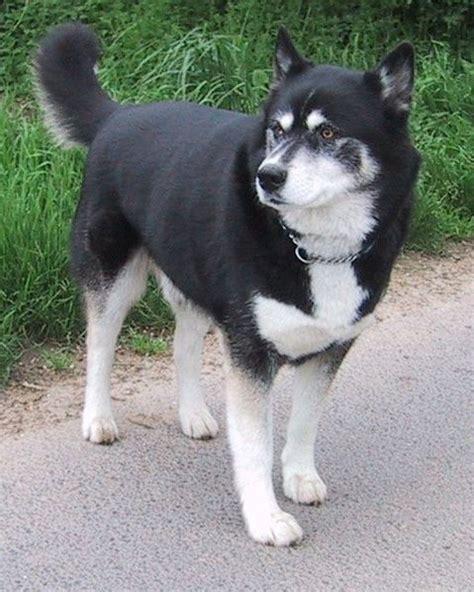 akita mix puppies huskita akita husky mix info temperament puppies pictures